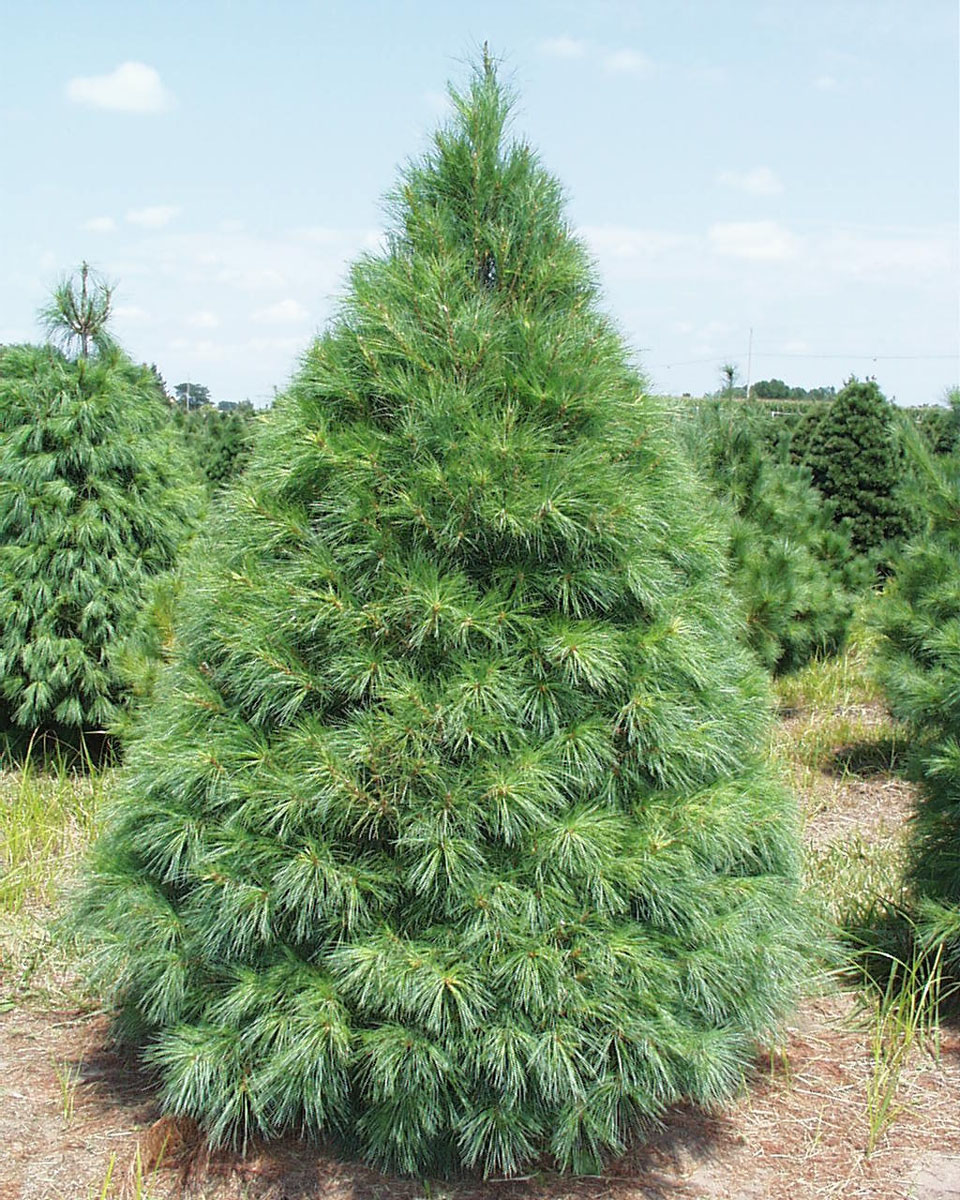smiths pumpkin patch christmas trees 4th of july fireworks